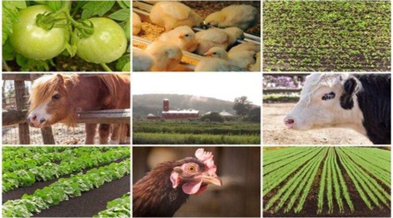 Animal-Husbandry-and-Agriculture-Simultaneously-in-two-piece-of-Land
